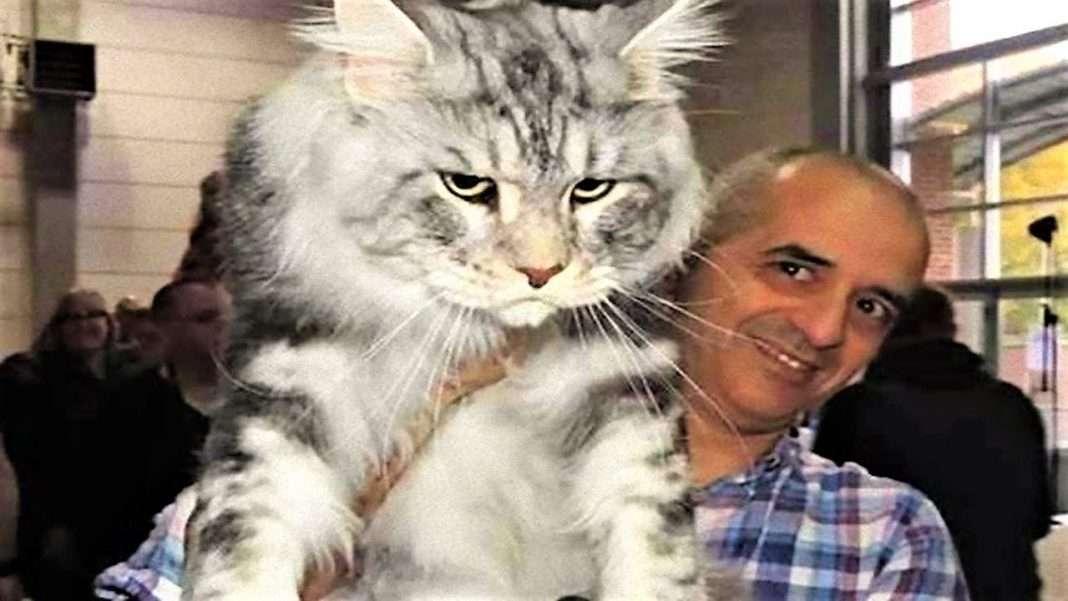 14 biggest cats in the world 1funny com