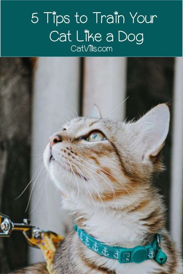 5 Tips to Train Your Cat Like a Dog