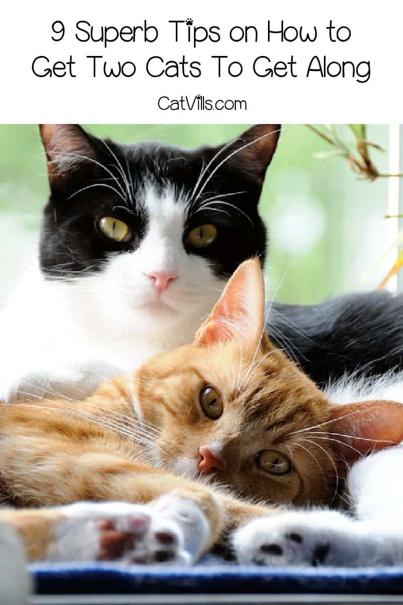 9 Superb Tips on How to Get Two Cats To Get Along