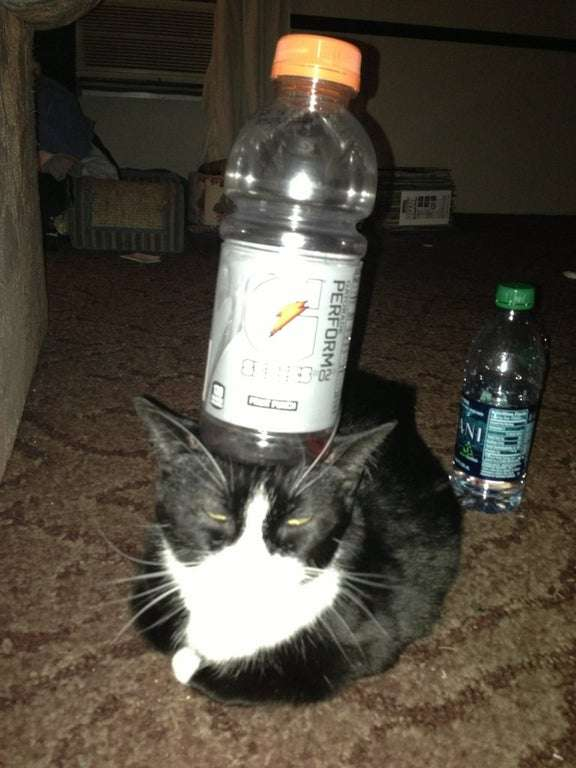 Behold, my cat can balance this Gatorade bottle upon her ...