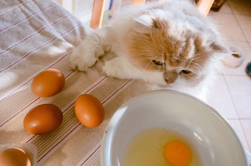 Can Cats Eat Eggs? Are Eggs Safe for Cats?