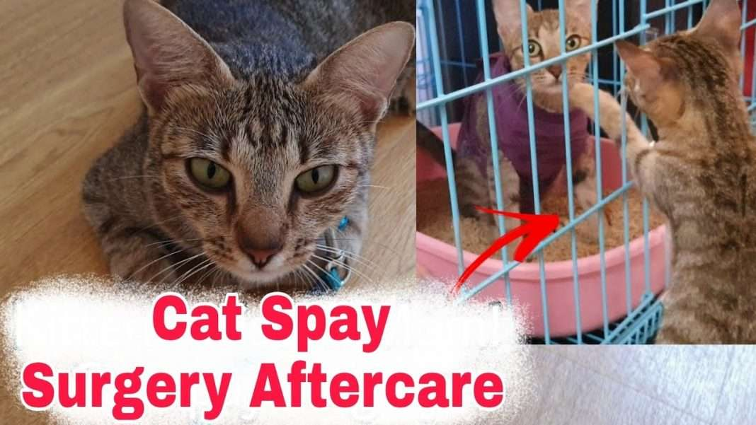 cat spayed surgery aftercare rescued cat comes home