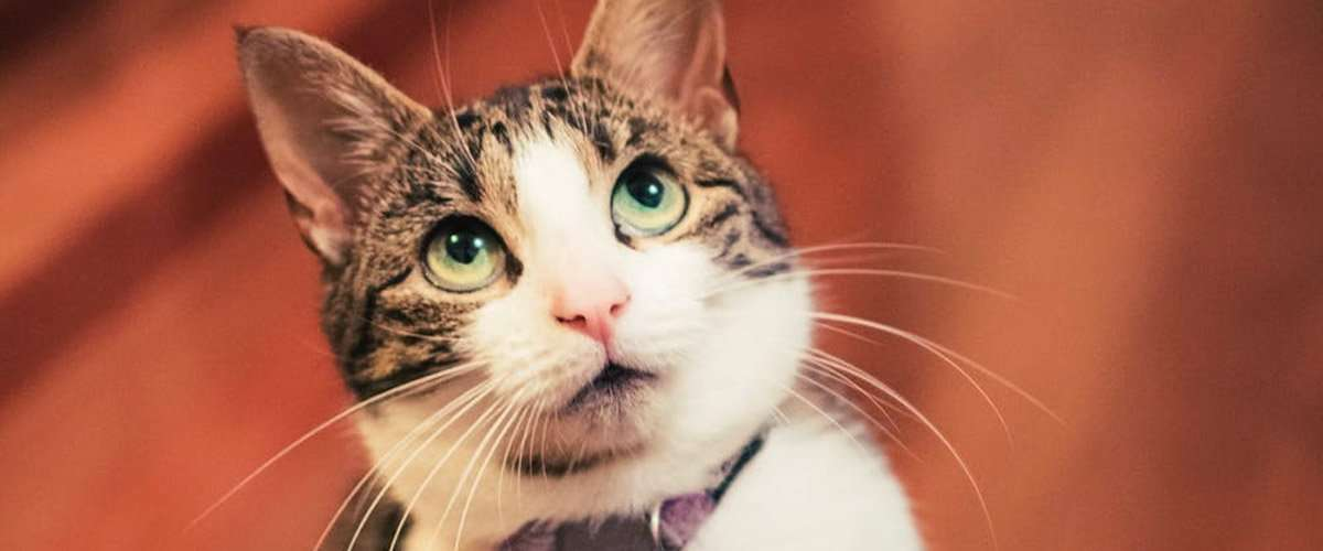 How Long Do Indoor Cats Live?