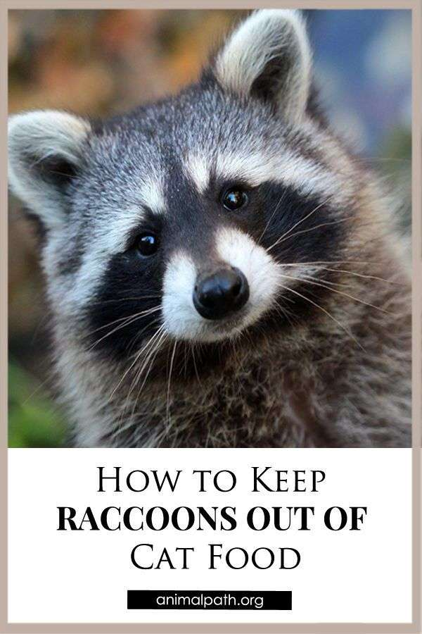 How to Keep Raccoons Out of Cat Food in 2021