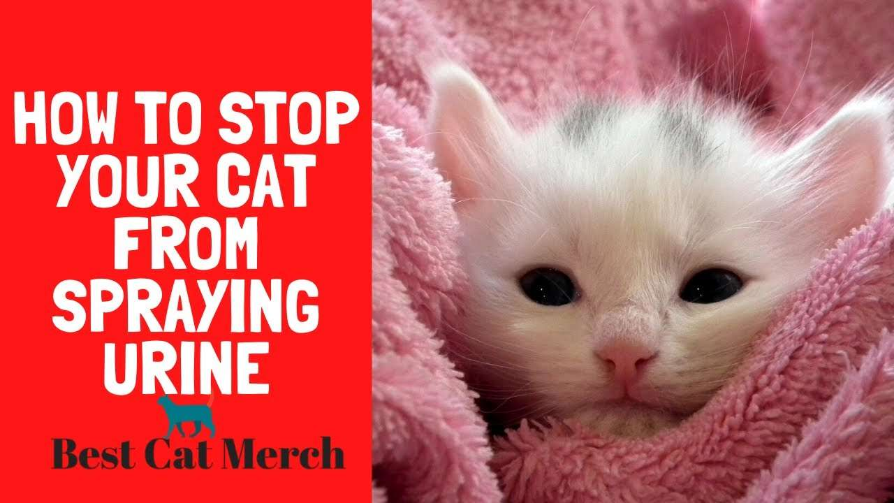 How to Stop Your Cat From Spraying?