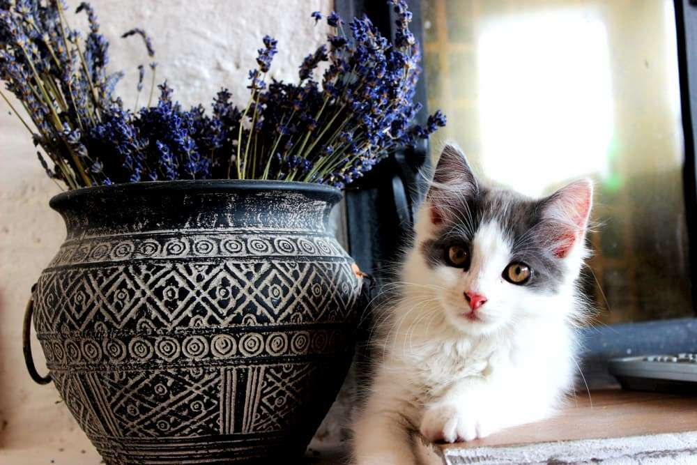 is lavender safe for cats great pet care
