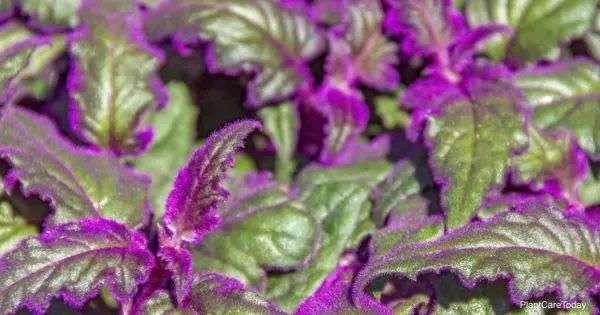 Purple Passion Plant Care: How To Grow Gynura Aurantiaca ...