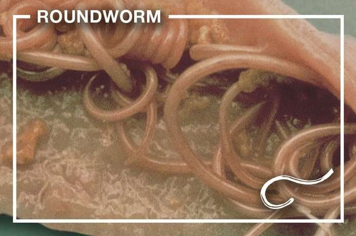 Types of Worms in Cats