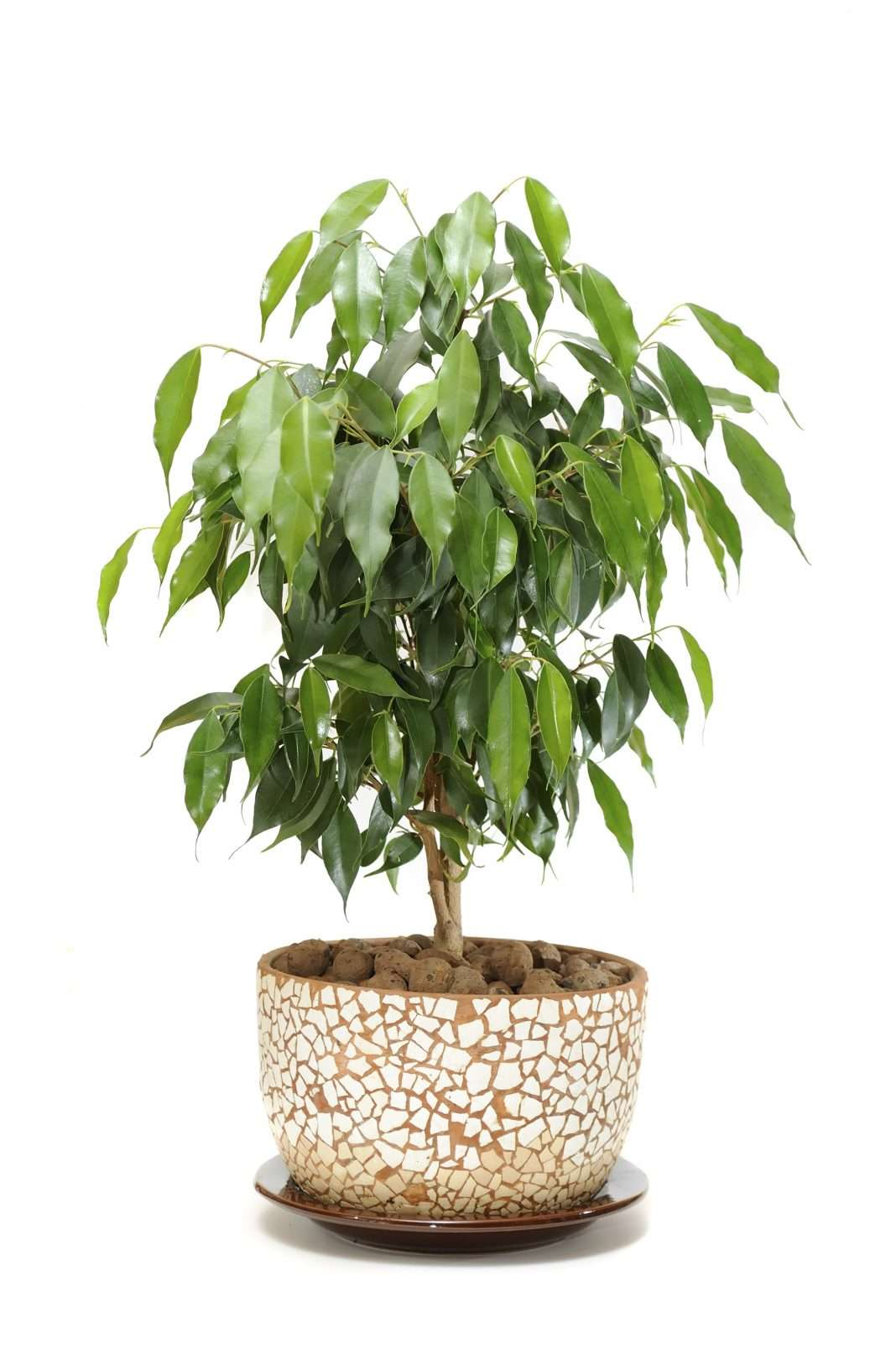 weeping fig toxic to dogs weeping fig toxic to cats