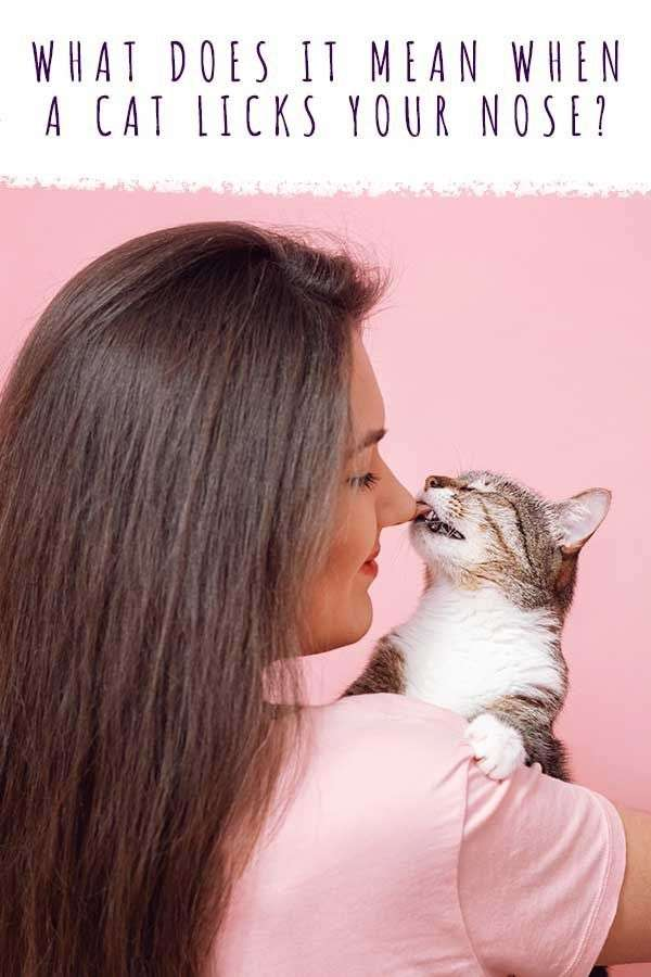 what does it mean when a cat licks your nose in 2021