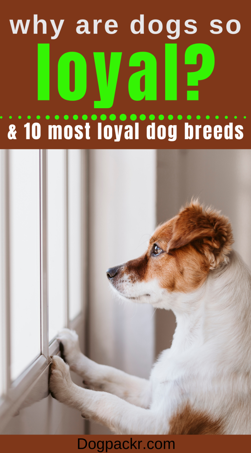 Why Are Dogs So Loyal?