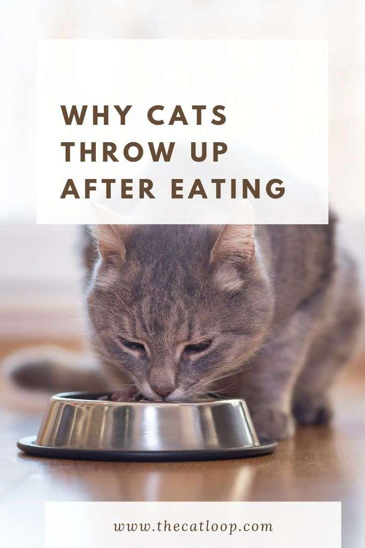 why cats throw up after eating cat throwing up cats