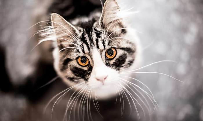 Why Do Cats have Slits and Pockets on Their Ears?